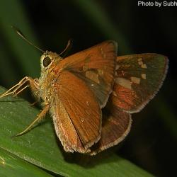 Subfamily Hesperiinae  <br>&nbsp;&nbsp;&nbsp; Genus Polytremis ( Swift )