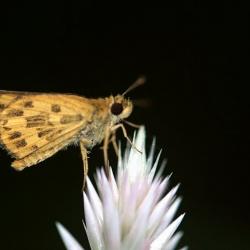Subfamily Hesperiinae  <br>&nbsp;&nbsp;&nbsp; Genus Potanthus, Taractrocera ( Dart )