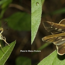 Subfamily Hesperiinae  <br>&nbsp;&nbsp;&nbsp; Genus Pseudoborbo ( Swift )
