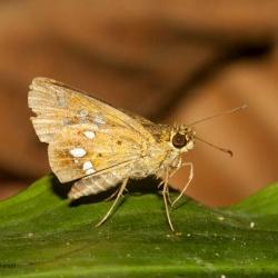 Subfamily Hesperiinae  <br>&nbsp;&nbsp;&nbsp; Genus Scobura ( Forest Bob )