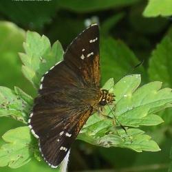Subfamily Hesperiinae  <br>&nbsp;&nbsp;&nbsp; Genus Sovia ( Bicolour Ace )