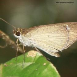 Subfamily Hesperiinae  <br>&nbsp;&nbsp;&nbsp; Genus Suada ( Grass Bob )