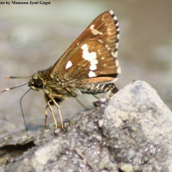 Northern Spotted Ace -- Thoressa cerata Hewitson, 1876( UN)