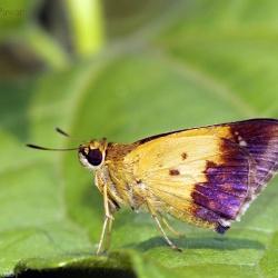 Subfamily Hesperiinae  <br>&nbsp;&nbsp;&nbsp; Genus Zographetus ( Purple and Gold Flitter )