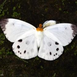White Dawnfly -- Capilia pieridoides Moore, 1878