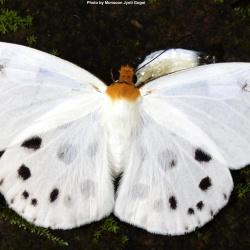 Subfamily Pyrginae  <br>&nbsp;&nbsp;&nbsp; Genus Capilia ( Dawnfly )
