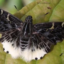 Hairy Angle - Darpa hanria