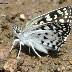Subfamily Pyrginae  <br>&nbsp;&nbsp;&nbsp; Genus Caprona, Tapena, Darpa, Odontoptilum  ( Angle )