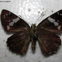 Subfamily Pyrginae  <br>&nbsp;&nbsp;&nbsp; Genus Chamunda ( Olive Flat )