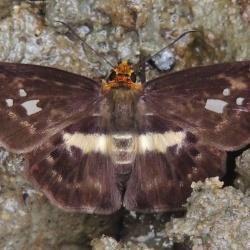 Subfamily Pyrginae  <br>&nbsp;&nbsp;&nbsp; Genus Gerosis ( Yellow-breasted Flat )