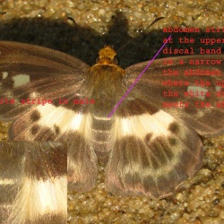Dusky Yellow-breast Flat - Gerosis phisara phisara ( Male )