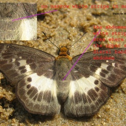 White Yellow-breast Flat - Gerosis sinica indica