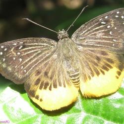 Subfamily Pyrginae  <br>&nbsp;&nbsp;&nbsp; Genus Mooreana ( Yellow Flat )