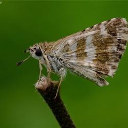Subfamily Pyrginae  <br>&nbsp;&nbsp;&nbsp; Genus Spialia ( Grizzled Skipper )