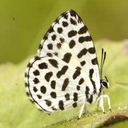 Subfamily Miletinae  <br>&nbsp;&nbsp;&nbsp; Genus Taraka - The Forest Pierrot