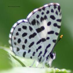 Forest Pierrot - Taraka hamada mendesia