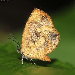 Subfamily Miletinae <br>&nbsp;&nbsp;&nbsp; Genus Logania - The Mottles