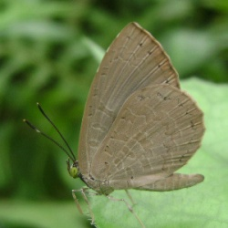 Subfamily Miletinae <br>&nbsp;&nbsp;&nbsp; Genus Miletus Hübner, 1819 - The Brownies and Common Mottle