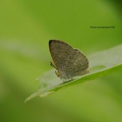 Subfamily Miletinae <br>&nbsp;&nbsp;&nbsp; Genus Spalgis - The Apefly