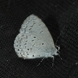 Subfamily Polyommatinae <br>&nbsp;&nbsp;&nbsp; Genus Acytolepis - The Hedge Blues