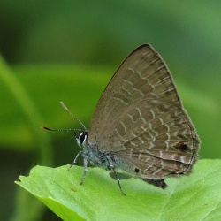 Subfamily Polyommatinae <br>&nbsp;&nbsp;&nbsp; Genus Anthene - The Ciliate Blues