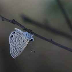 Subfamily Polyommatinae <br>&nbsp;&nbsp;&nbsp; Genus Azanus - The Babul Blues