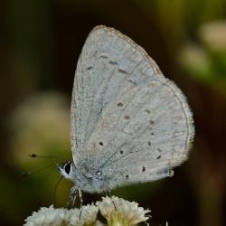 Subfamily Polyommatinae <br>&nbsp;&nbsp;&nbsp; Genus Bothrinia - The Hedge Cupid