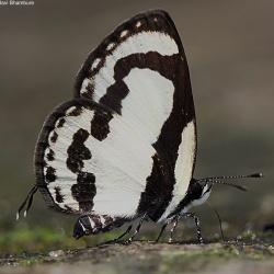 Subfamily Polyommatinae <br>&nbsp;&nbsp;&nbsp; Genus Caleta <br>- The Pierrots