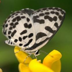 Subfamily Polyommatinae <br>&nbsp;&nbsp;&nbsp; Genus Castalius <br>- The Pierrots