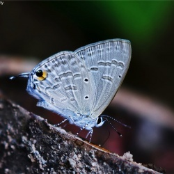 Subfamily Polyommatinae <br>&nbsp;&nbsp;&nbsp; Genus Catochrysops - The Forget-me-nots