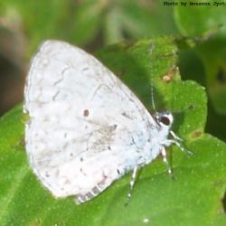 Hill Hedge Blue -- Celastrina argiolus sikkima Linnaeus, 1758