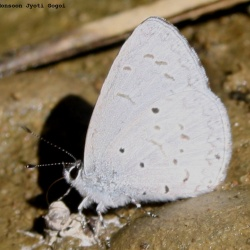 Subfamily Polyommatinae <br>&nbsp;&nbsp;&nbsp; Genus Celastrina - The Hedge Blues