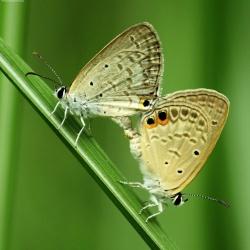 Subfamily Polyommatinae <br>&nbsp;&nbsp;&nbsp; Genus Euchrysops - The Gram Blue