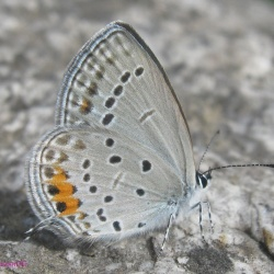 Tailed Cupid -- Everes argeides Pallas, 1771