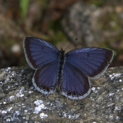 Subfamily Polyommatinae <br>&nbsp;&nbsp;&nbsp; Genus Everes - The Tailed Cupids
