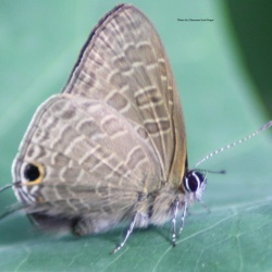 Pointed Lineblue - Ionolyce helicon