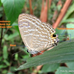 Subfamily Polyommatinae <br>&nbsp;&nbsp;&nbsp; Genus Jamides - The Ceruleans