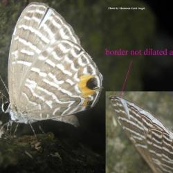 White Cerulean -Jamides cleodus pura