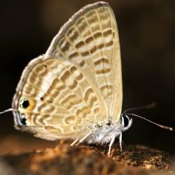 Subfamily Polyommatinae <br>&nbsp;&nbsp;&nbsp; Genus Lampides - The Peablue