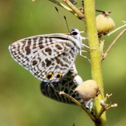 Subfamily Polyommatinae <br>&nbsp;&nbsp;&nbsp; Genus Leptotes - The Zebra Blue