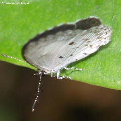 White Banded Hedge Blue -- Lycaenopsis transpectus Moore, 1879