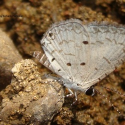 Subfamily Polyommatinae <br>&nbsp;&nbsp;&nbsp; Genus Megisba - The Malayan