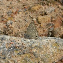 Subfamily Polyommatinae <br>&nbsp;&nbsp;&nbsp; Genus Nacaduba -- The Lineblues
