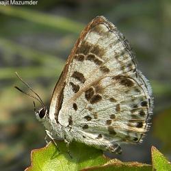 Subfamily Polyommatinae <br>&nbsp;&nbsp;&nbsp; Genus Niphanda - The Pointed Pierrots