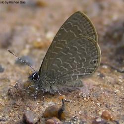 Subfamily Polyommatinae <br>&nbsp;&nbsp;&nbsp; Genus Petrelaea -- The Lineblues
