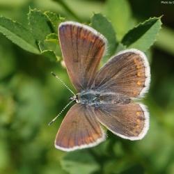 Subfamily Polyommatinae <br>&nbsp;&nbsp;&nbsp; Genus Polyommatus - The Meadow Blues