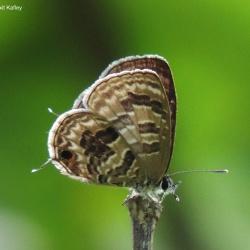 Subfamily Polyommatinae <br>&nbsp;&nbsp;&nbsp; Genus Prosotas -- The Lineblues