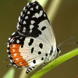 Subfamily Polyommatinae <br>&nbsp;&nbsp;&nbsp; Genus Talicada - The Red Pierrot