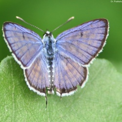 Subfamily Polyommatinae <br>&nbsp;&nbsp;&nbsp; Genus Tarucus <br>- The Pierrots