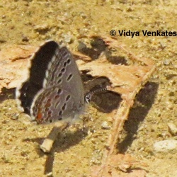 Subfamily Polyommatinae <br>&nbsp;&nbsp;&nbsp; Genus Tongeia - Black and Tibetan Cupid